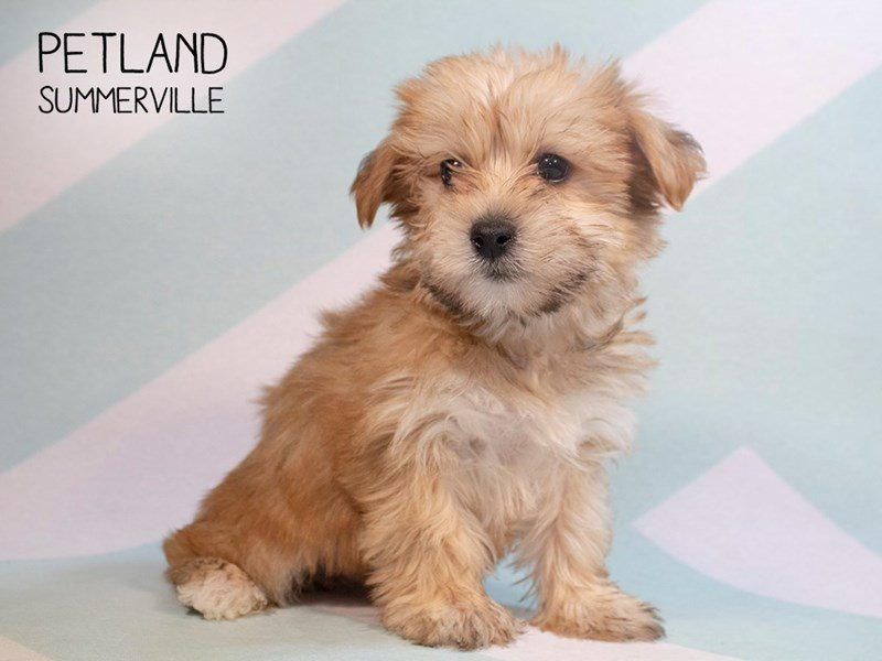 Yorkiepoo-Male-Red-2287451-Petland Summerville