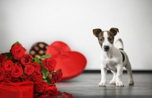 Teacup Dog Breeds: The Perfect Valentine's Gift for Her?
