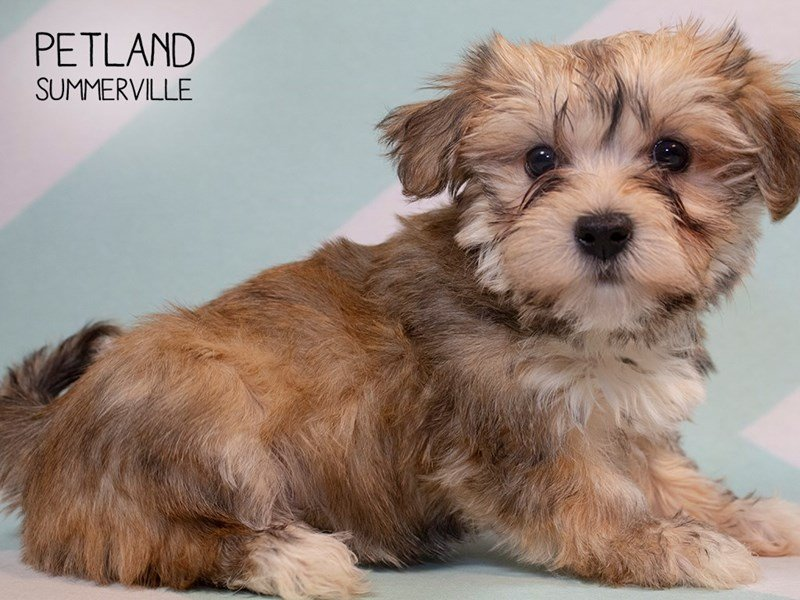 Shorkie-Female-BIEGE-2280613-Petland Summerville