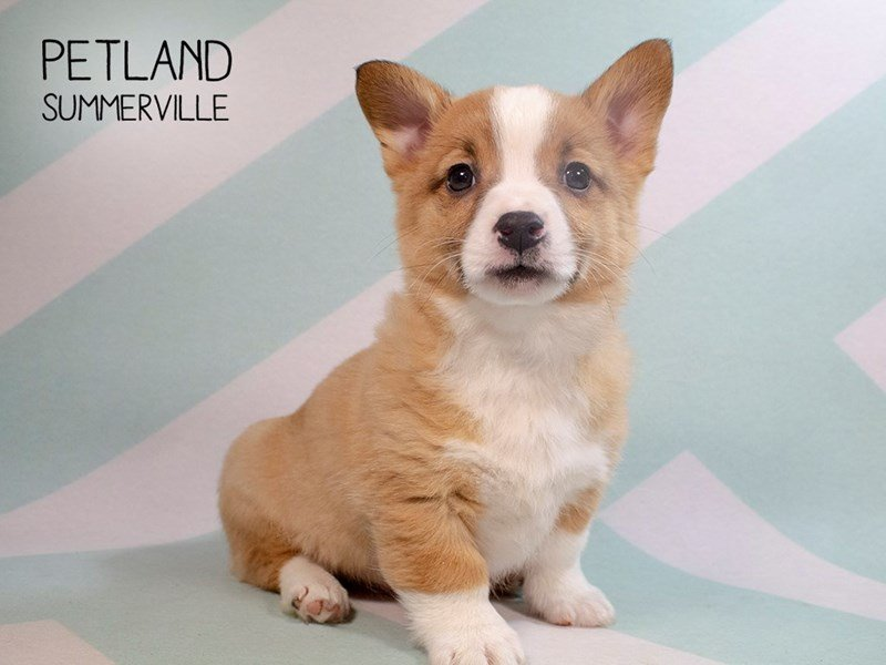 Pembroke Welsh Corgi-Male-Fawn White-2285976-Petland Summerville