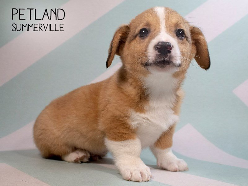Pembroke Welsh Corgi-Male-Fawn White-2285977-Petland Summerville