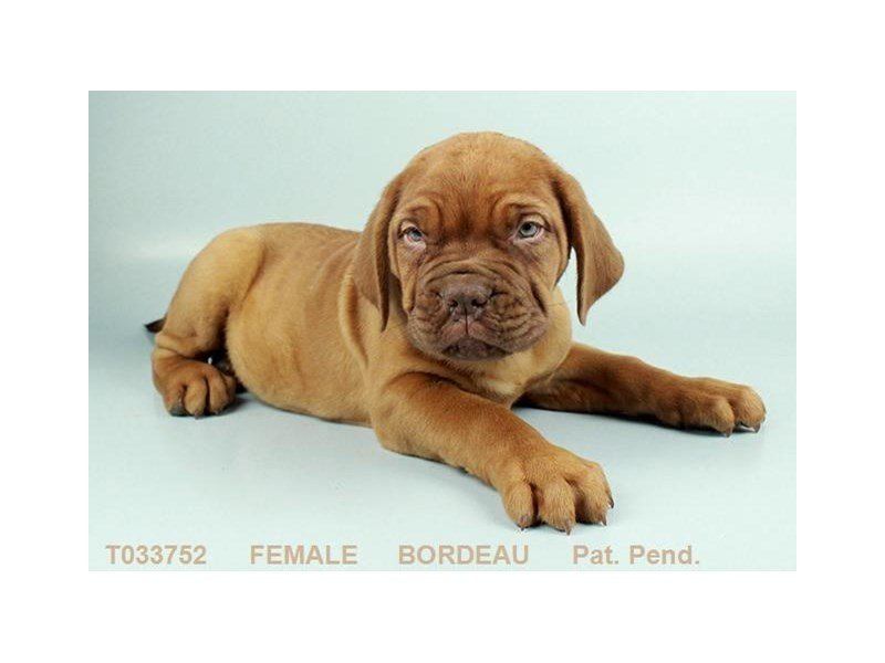 Dogue De Bordeaux-Female-MHGY-2296866-Petland Summerville