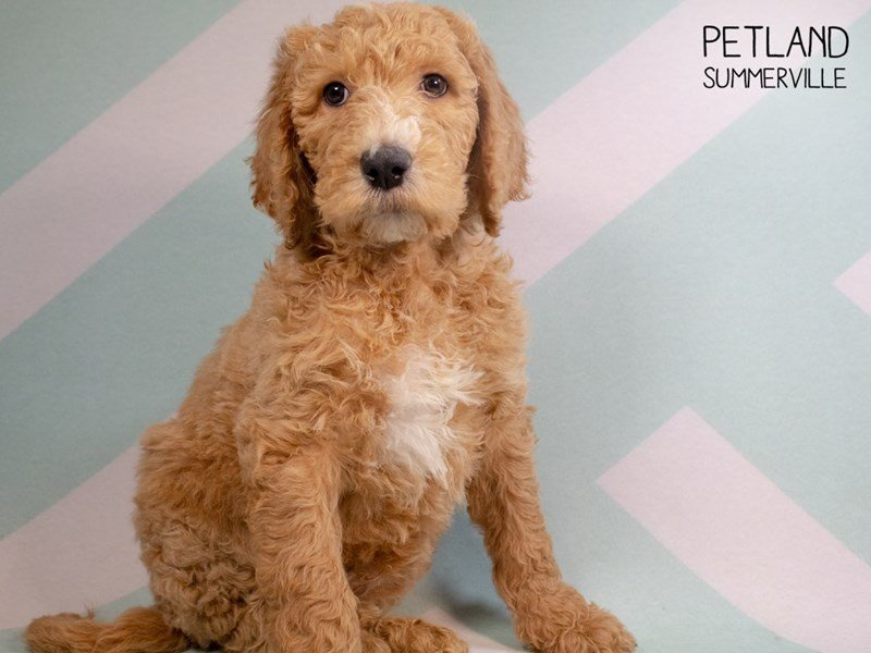 F2 STANDARD GOLDENDOODLE-DOG-Male-Golden-2297201-Petland Summerville