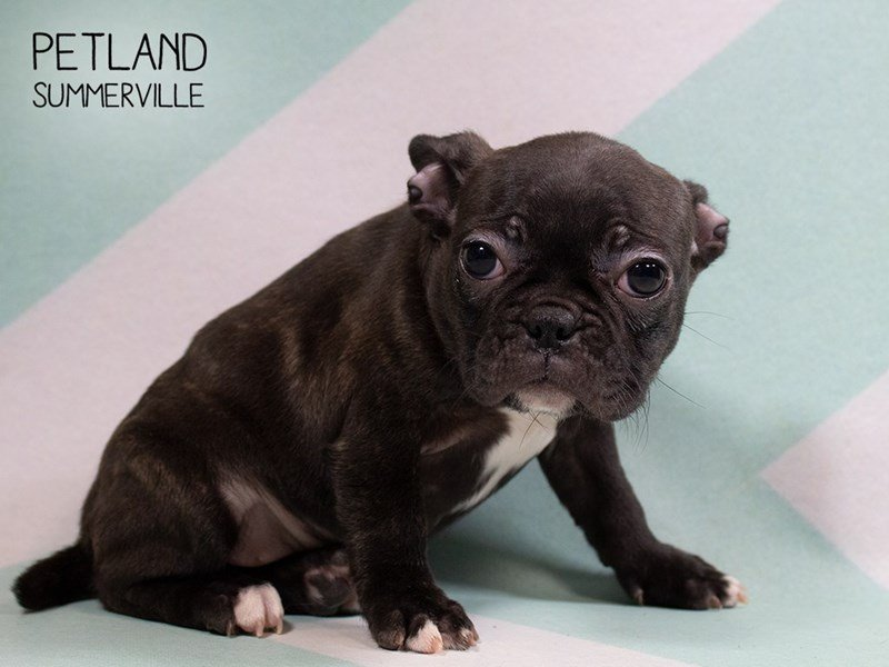 Frenchton-Female-BLK BRINDLE-2302579-Petland Summerville
