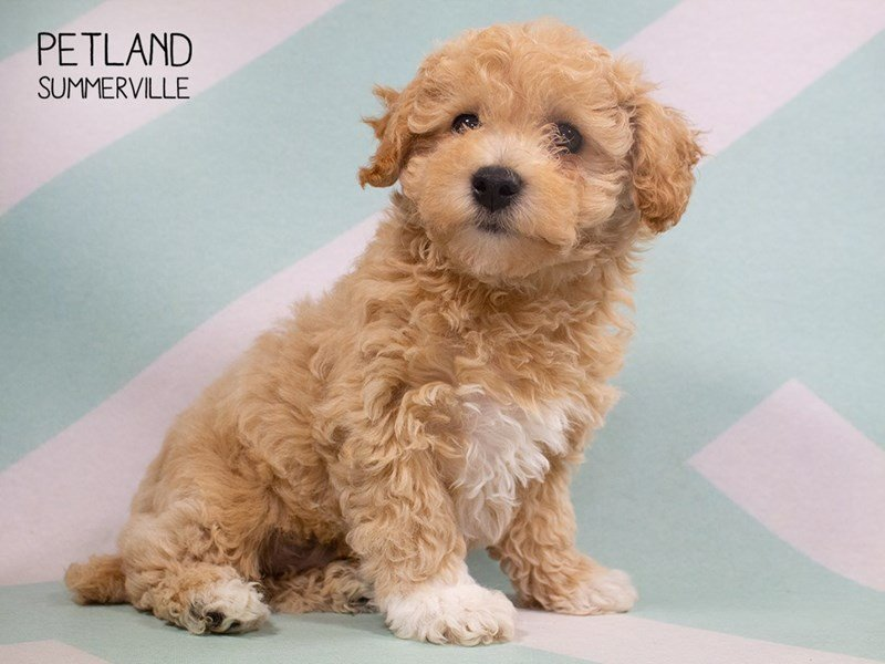 Bichon Poo-Male-RED-2308135-Petland Summerville