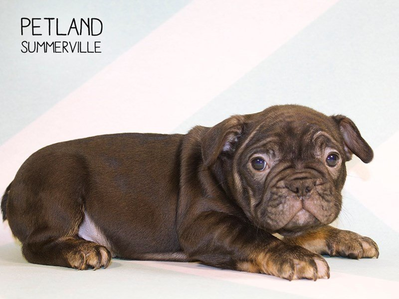French Bulldog-Male-BLACK TAN-2270473-Petland Summerville