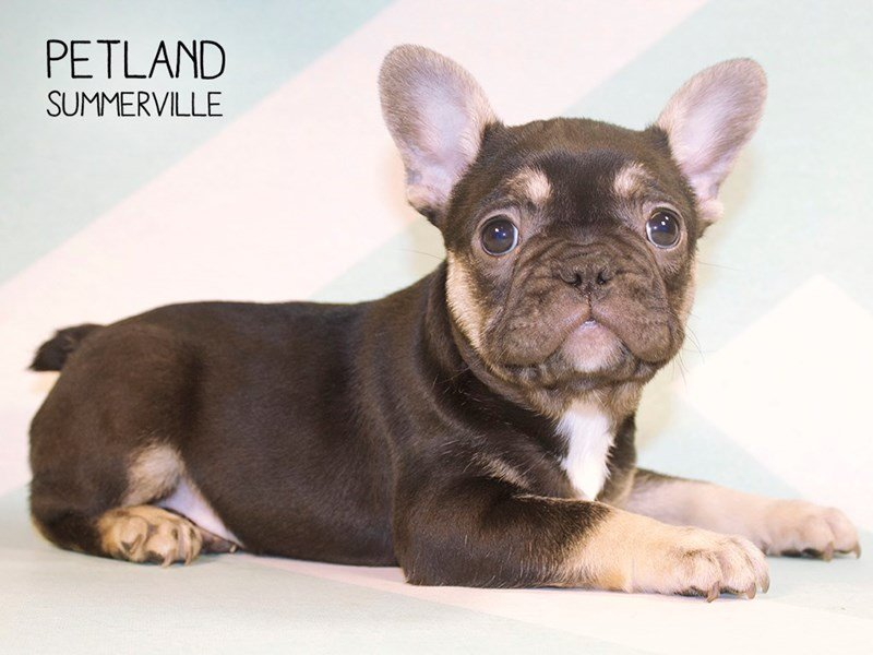 French Bulldog-Female-BLACK TAN-2270474-Petland Summerville