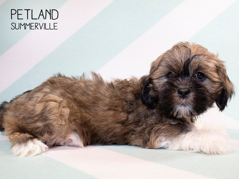 Lhasa Apso-Female-Brown White-2280146-Petland Summerville