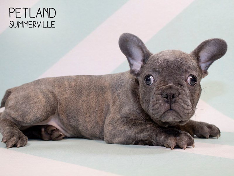 French Bulldog-Male-Blue-2280748-Petland Summerville