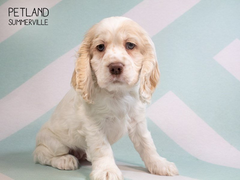 Cocker Spaniel-Female-Buff & White-2297134-Petland Summerville