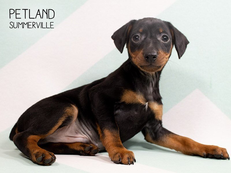Miniature Pinscher-Male-BLACK TAN-2302885-Petland Summerville