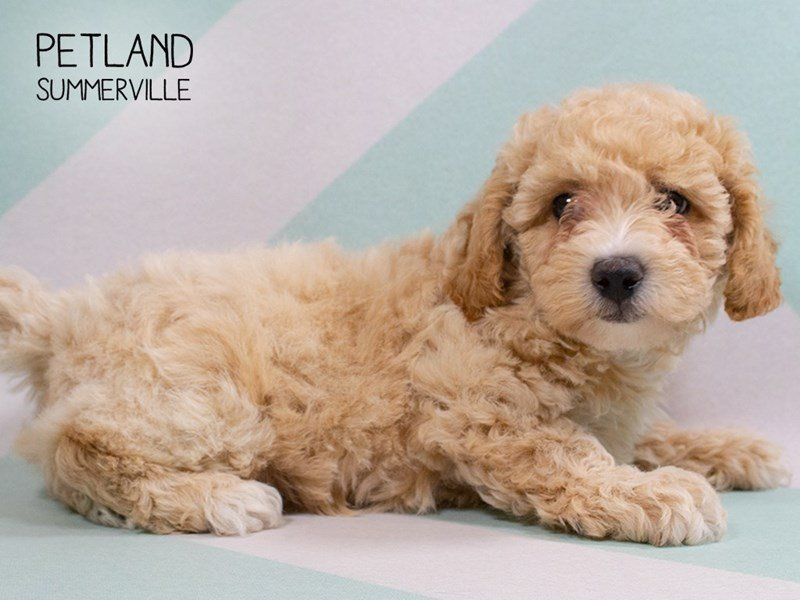 Bichon Poo-Male-RED-2302491-Petland Summerville