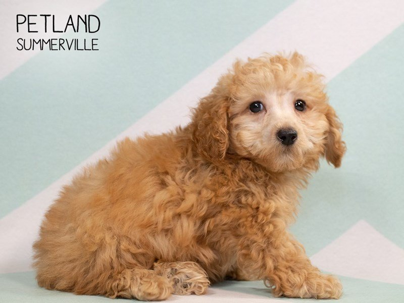 Poodle-Male-RED-2313561-Petland Summerville