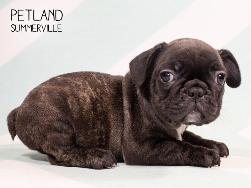 French Bulldog-Male-BRINDLE-2314401-Petland Summerville