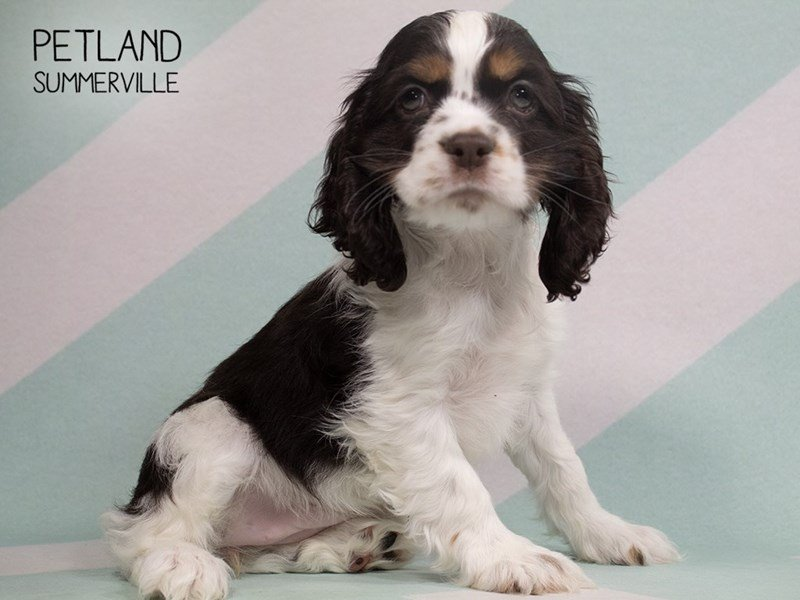 Cocker Spaniel-Female-TRI-2318929-Petland Summerville
