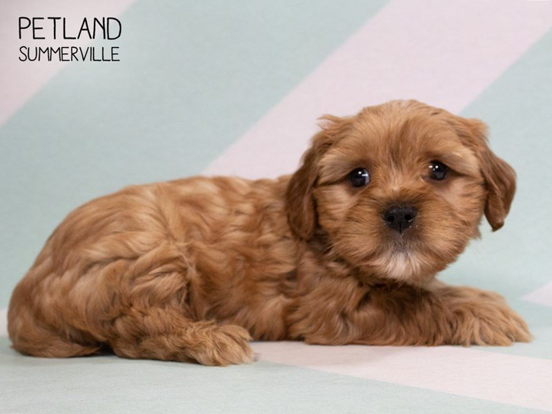 Yorkiepoo-Male-RED-2324361-Petland Summerville