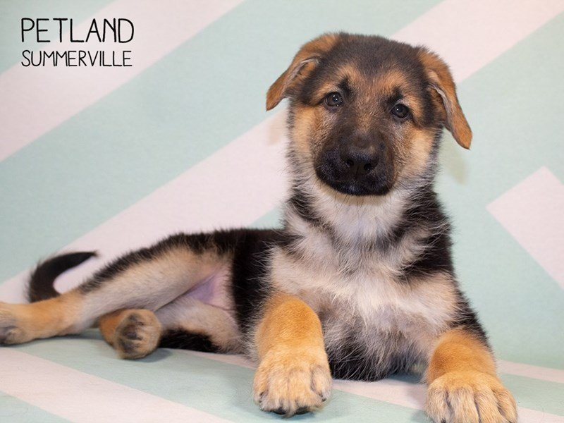 German Shepherd-Female-Black and Tan-2329746-Petland Summerville
