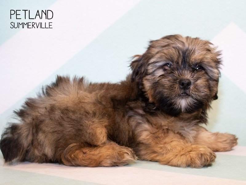 Shorkie-Male-Beige-2334919-Petland Summerville