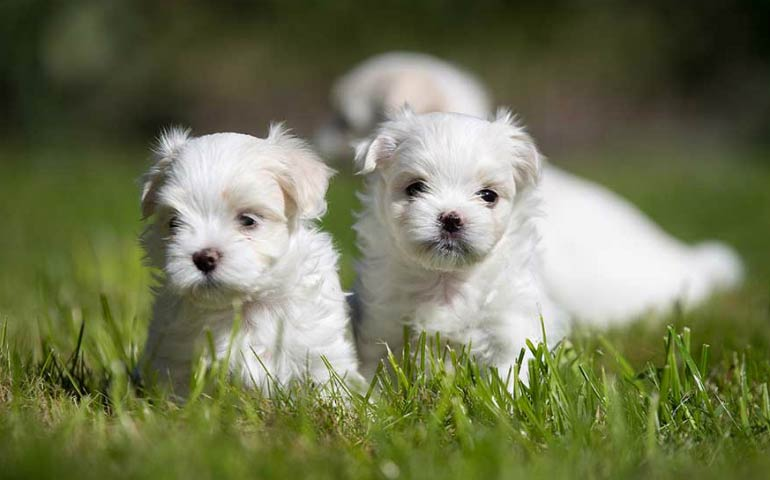 Petland Speaks: All About Maltese Puppies