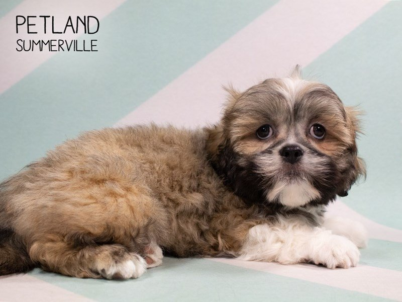 Lhasa Apso-Male-Brown White-2313557-Petland Summerville