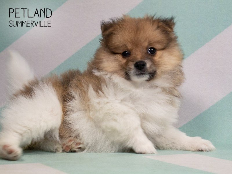 Pomeranian-Female-SABLE WHITE-2318841-Petland Summerville