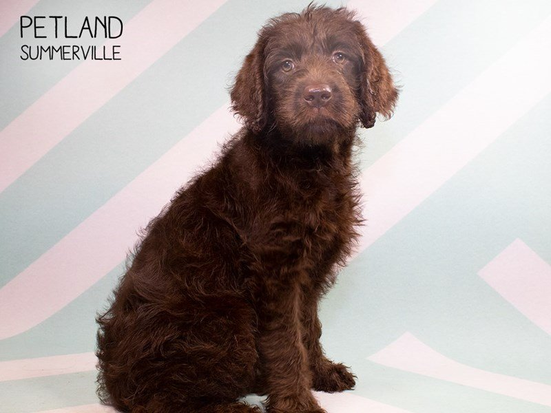 Labradoodle-Female-Chocolate-2324455-Petland Summerville