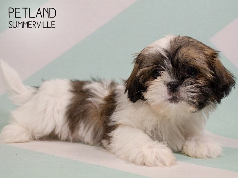 Shih Tzu-Female-Brown White-2329571-Petland Summerville