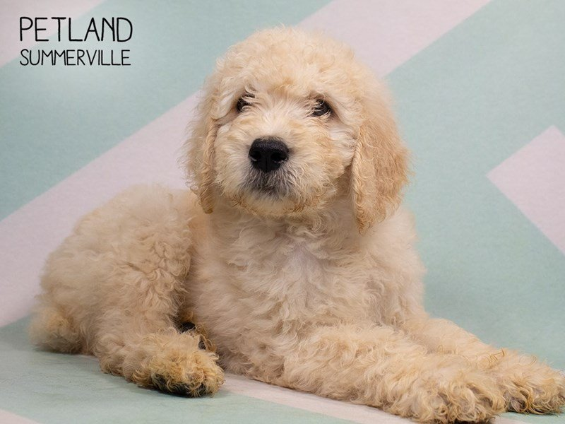 Goldendoodle-Male-cream-2329815-Petland Summerville