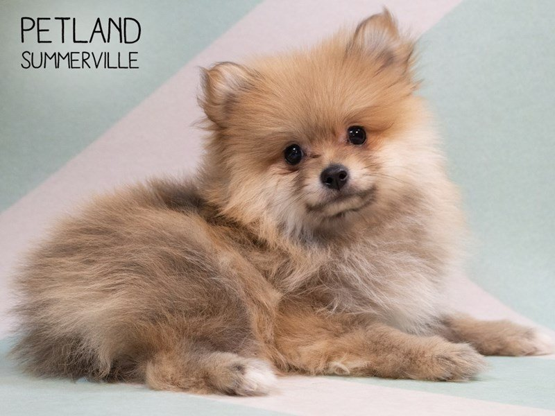 Pomeranian-Male-White and Brown-2343799-Petland Summerville