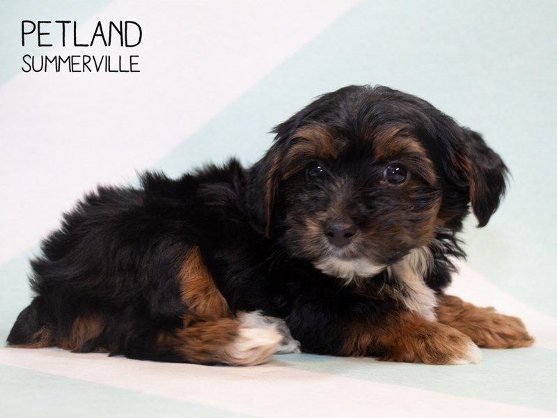 Yorkiepoo-Female-Black Tan-2339980-Petland Summerville