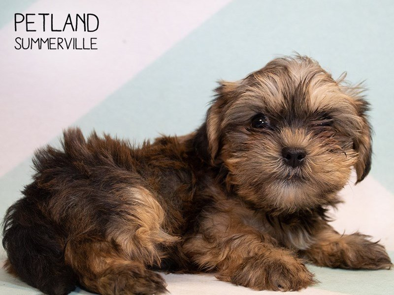 Shorkie-Female-Beige-2346074-Petland Summerville