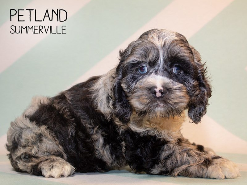 Cocker Spaniel-Male-BLUE MERLE-2356697-Petland Summerville