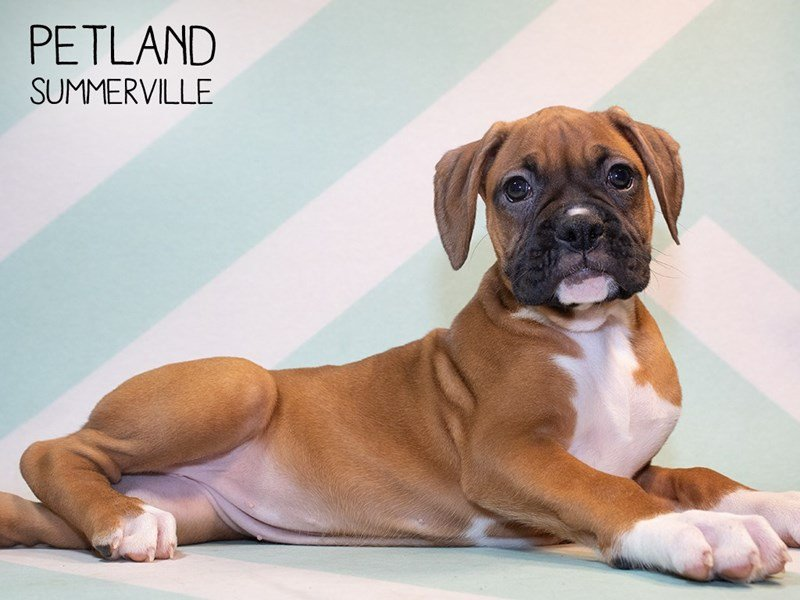 Boxer-Female-Red & White-2356618-Petland Summerville