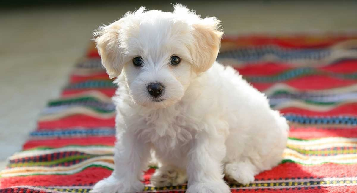 A Few Things You Didn't Know about Bichon Frise Dogs
