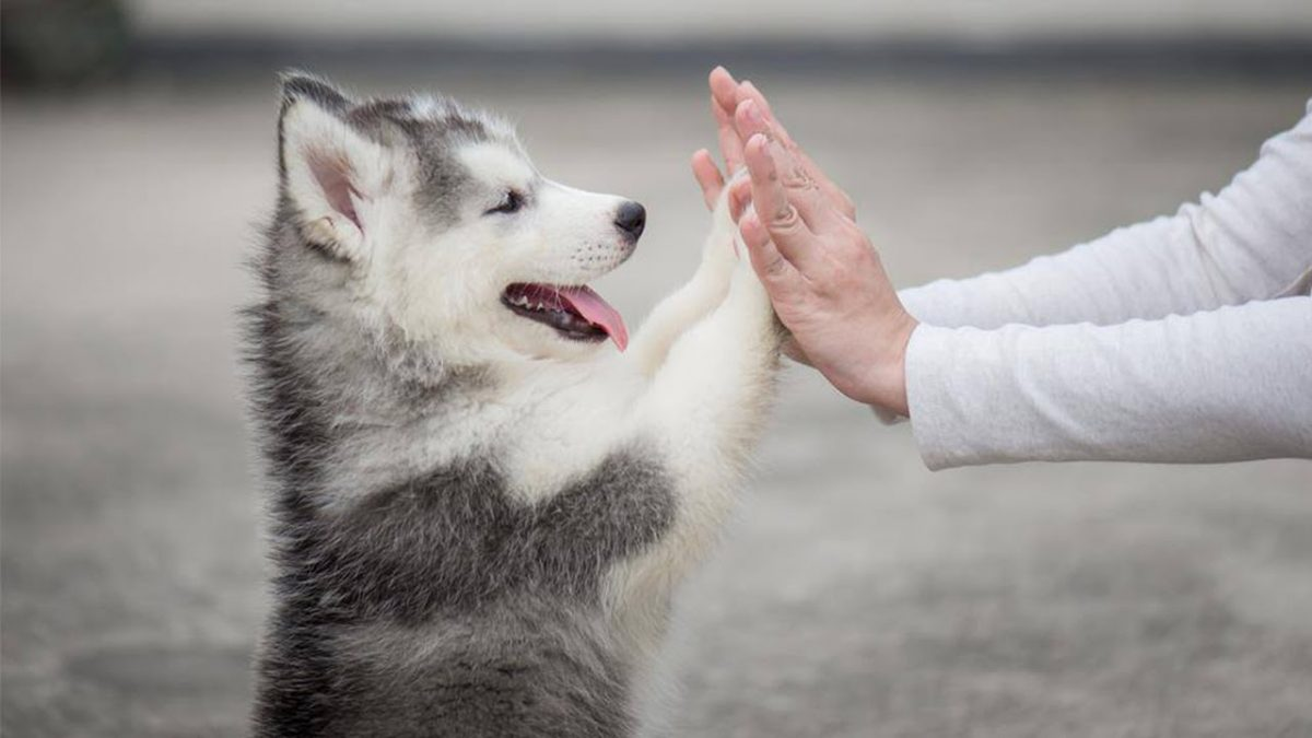 3 Facts About Husky Puppies for Sale in SC