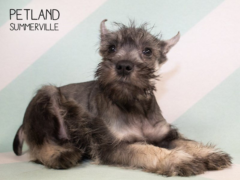 Miniature Schnauzer-Male-SALT PEPPER-2313841-Petland Summerville