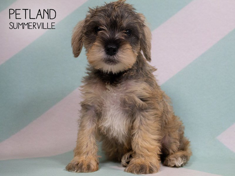 Miniature Schnauzer-Male-SALT PEPPER-2329875-Petland Summerville