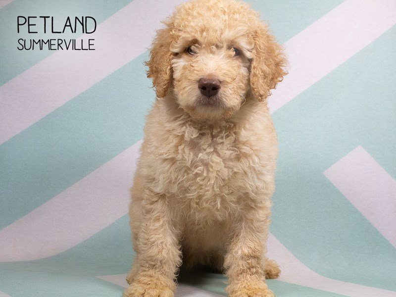 Goldendoodle-Male-cream-2329816-Petland Summerville