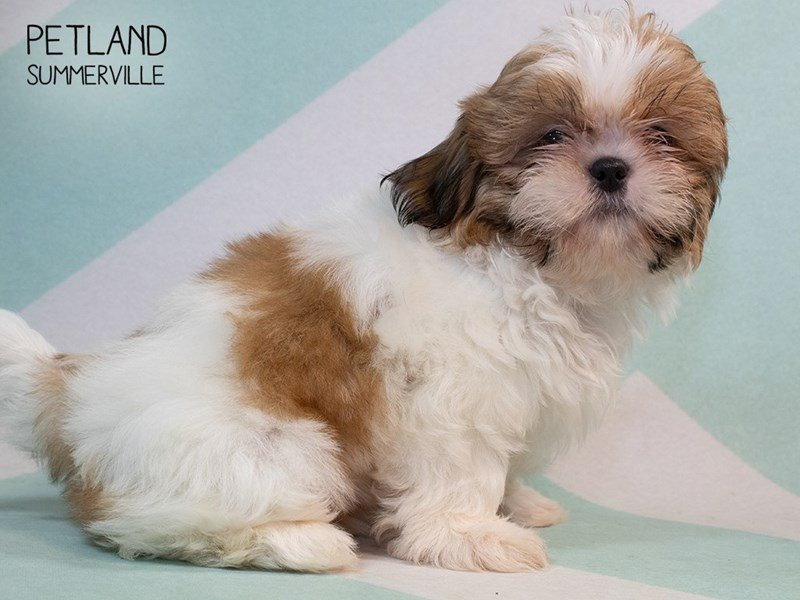 Shih Tzu-Male-brown white-2334928-Petland Summerville