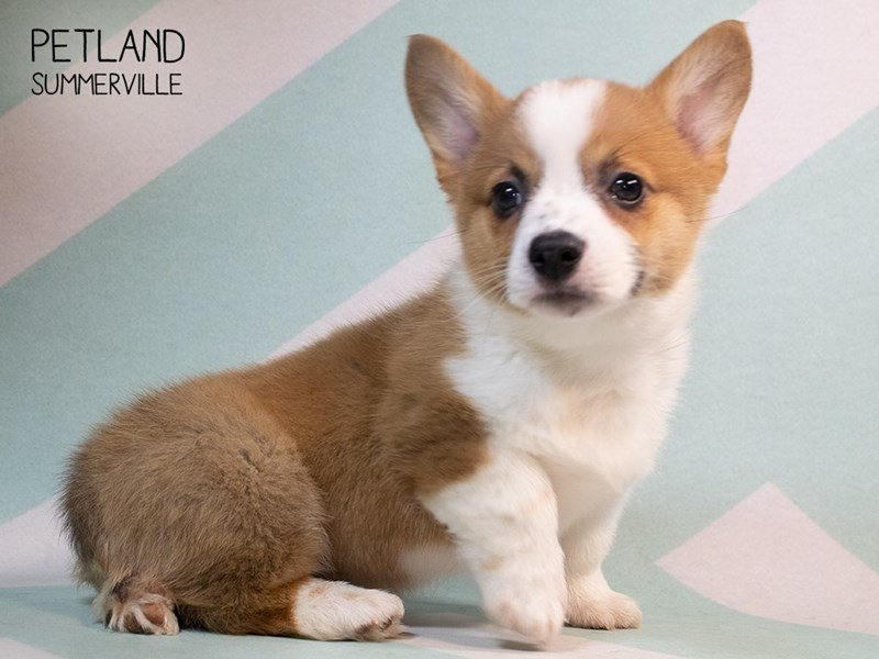 Pembroke Welsh Corgi-Male-Brown White-2334892-Petland Summerville