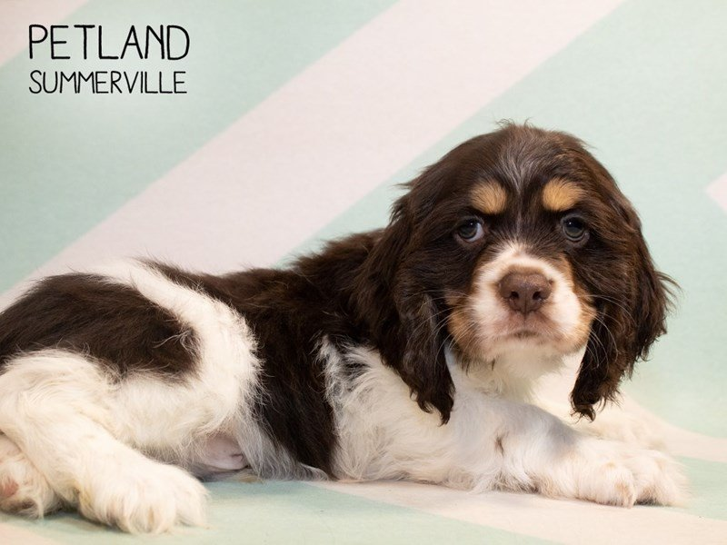 Cocker Spaniel-Male-Choc White-2345778-Petland Summerville