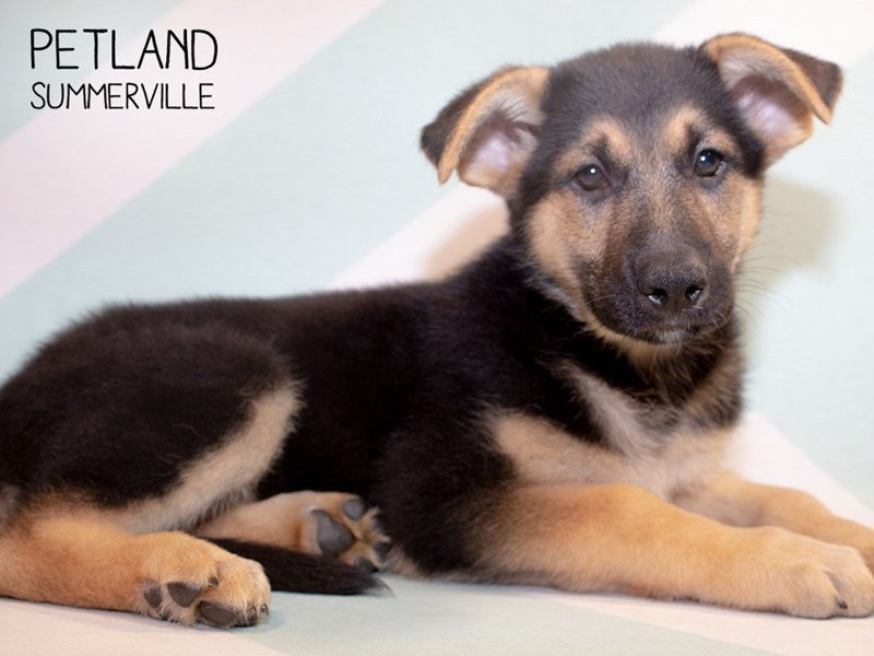 German Shepherd-Female-Black & Tan-2345876-Petland Summerville