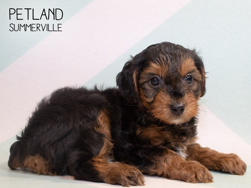 Yorkiepoo-Male-Black Tan-2345616-Petland Summerville