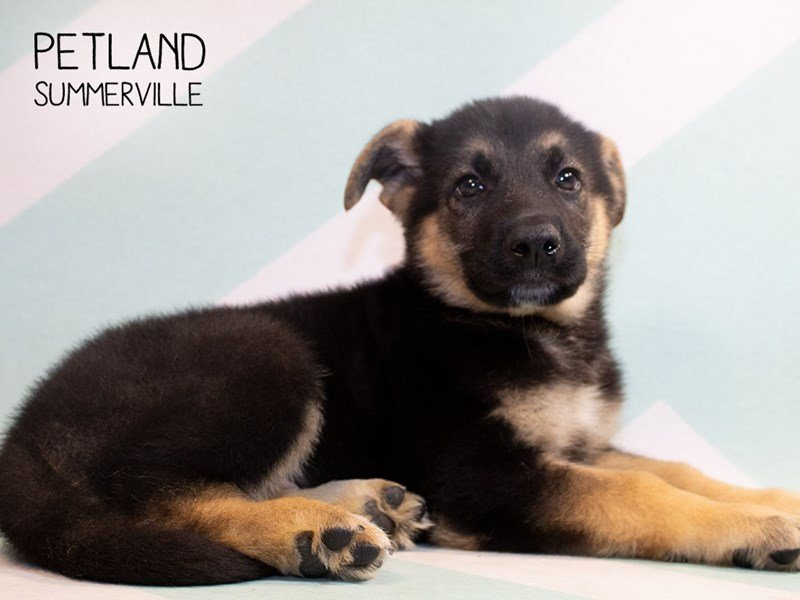 German Shepherd-Male-Black & Tan-2345872-Petland Summerville