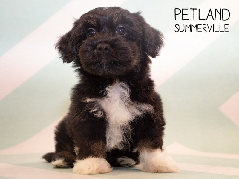 Lhasa Apso-Male-Black & White-2361961-Petland Summerville