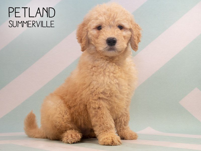 F2 STANDARD GOLDENDOODLE-Male-Golden-2361766-Petland Summerville