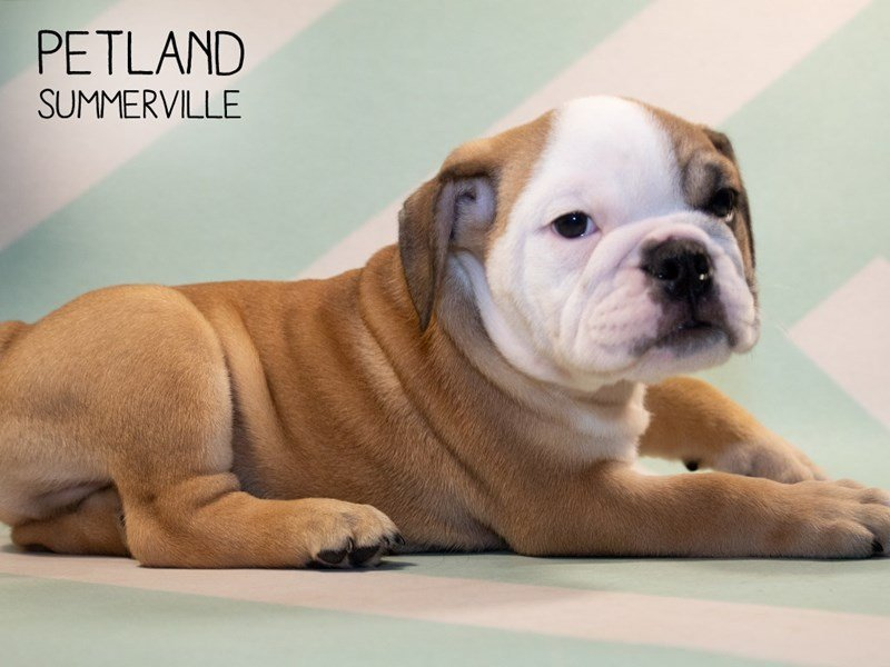 English Bulldog Puppies Breed Info - Petland Summerville