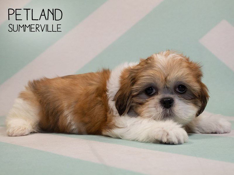 Shih Tzu-Male-brown white-2356657-Petland Summerville