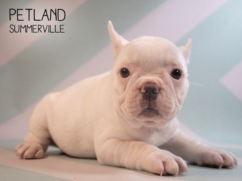 French Bulldog-Female-Cream-2374948-Petland Summerville