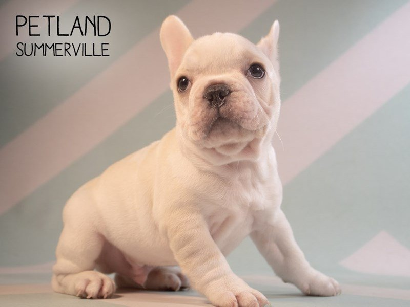 French Bulldog-Male-Cream-2374931-Petland Summerville